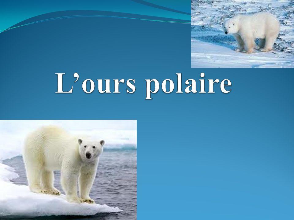 Lours polaire a une grande tête rectangulaire.Il a des petites oreilles et il a une petite queue.