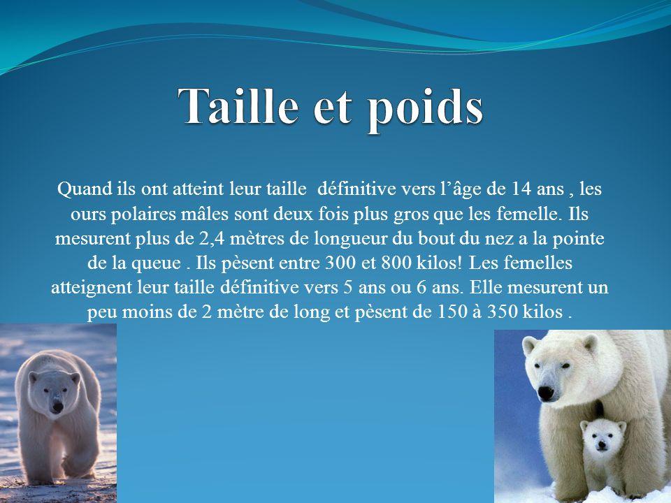 Quand ils ont atteint leur taille définitive vers lâge de 14 ans, les ours polaires mâles sont deux fois plus gros que les femelle.