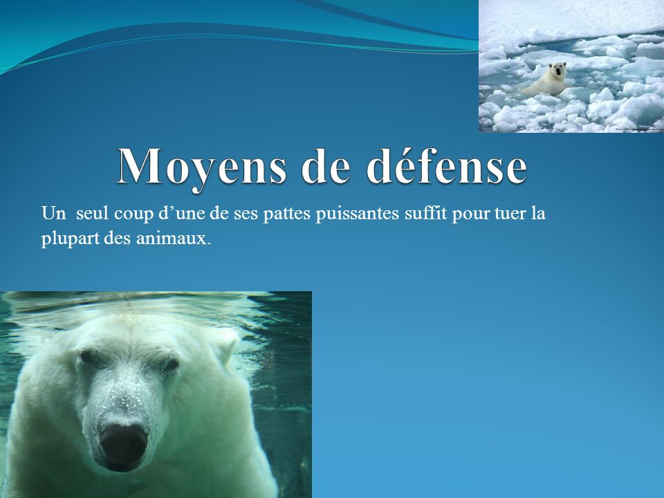Leurs ennemis sont le morse et le loup.Pour le moment, les ours polaires ne sont pas en péril.