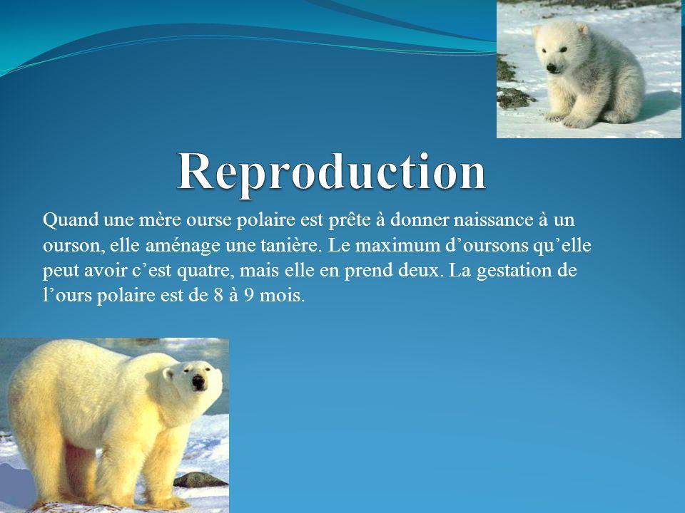 Quand une mère ourse polaire est prête à donner naissance à un ourson, elle aménage une tanière.