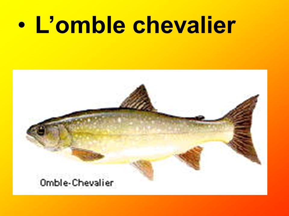 Lomble chevalier