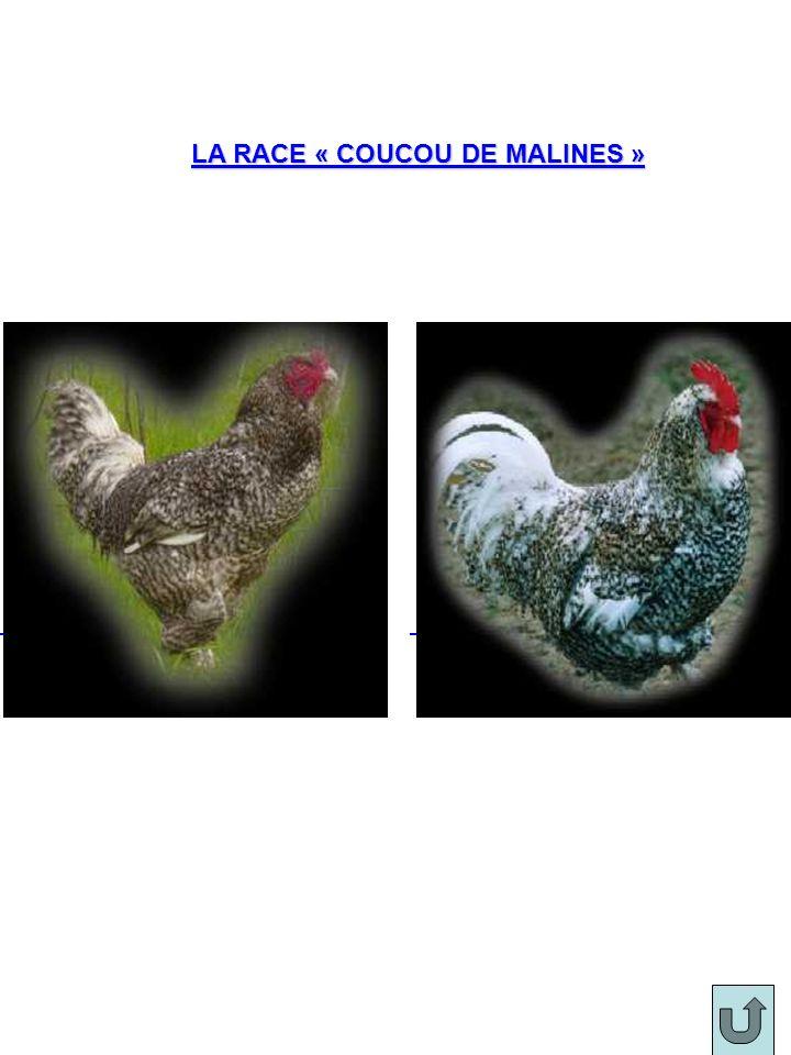 LA RACE « COUCOU DE MALINES »