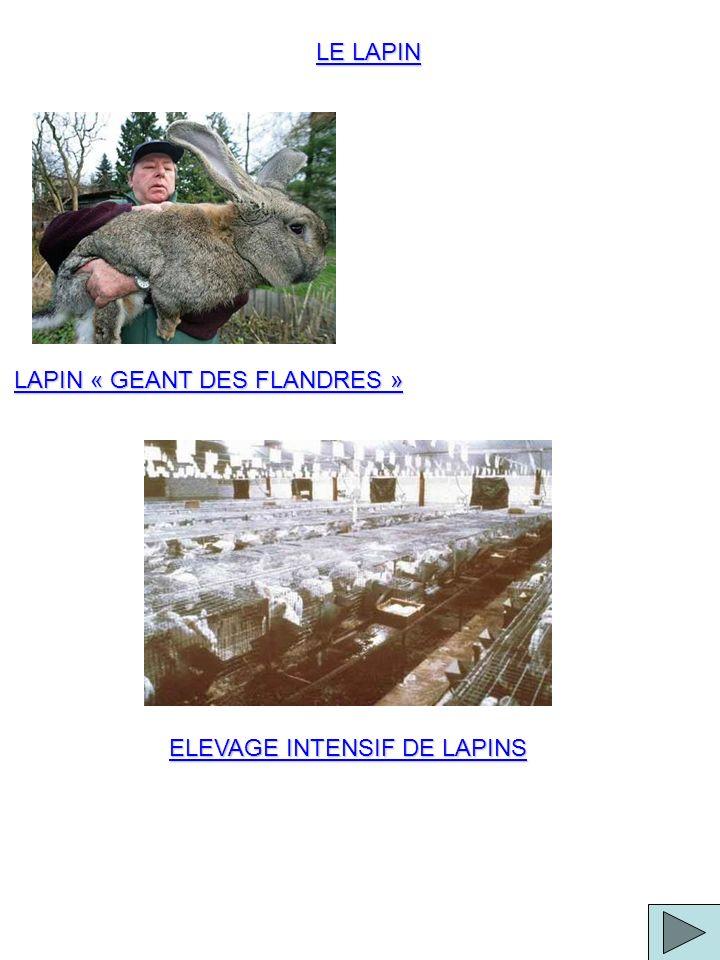 LE LAPIN LAPIN « GEANT DES FLANDRES » ELEVAGE INTENSIF DE LAPINS