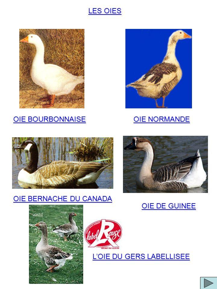 OIE BOURBONNAISE LES OIES OIE NORMANDE OIE BERNACHE DU CANADA OIE DE GUINEE LOIE DU GERS LABELLISEE