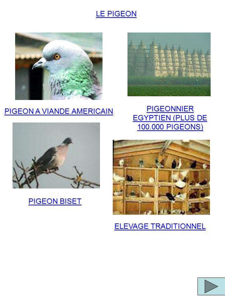 LE PIGEON PIGEON A VIANDE AMERICAIN PIGEONNIER EGYPTIEN (PLUS DE 100.000 PIGEONS) PIGEON BISET ELEVAGE TRADITIONNEL