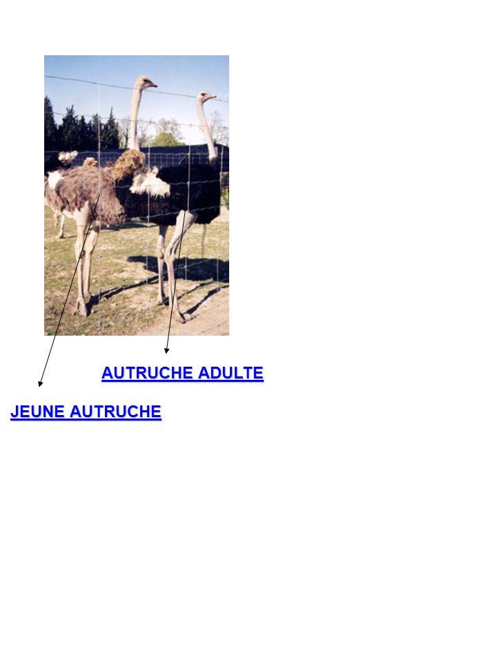 JEUNE AUTRUCHE AUTRUCHE ADULTE