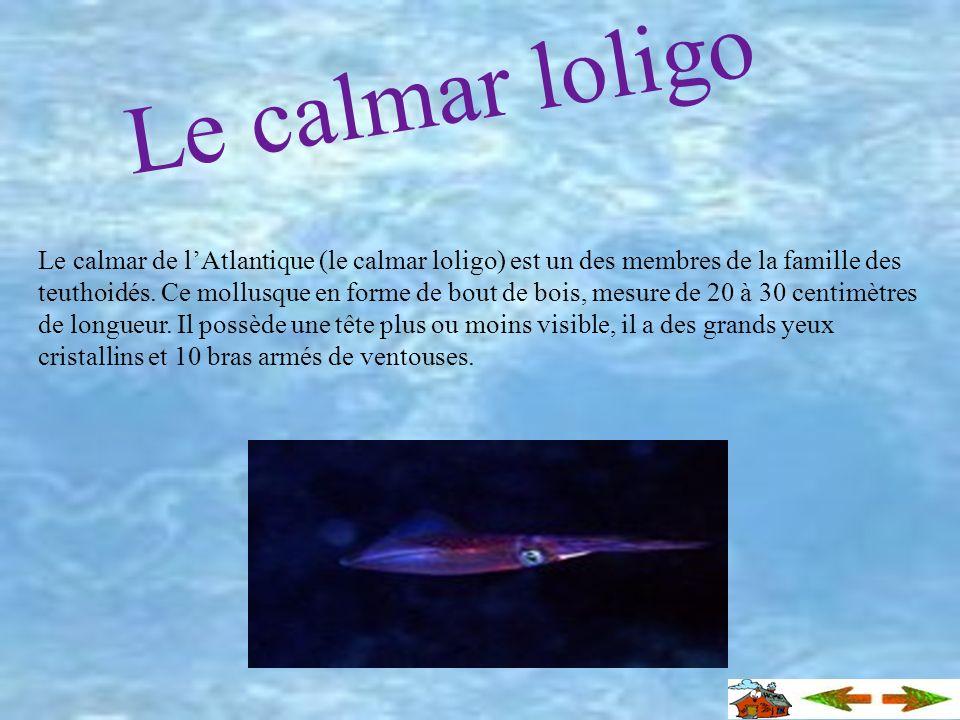 Calmar abyssal Habituellement, on retrouve les calmars dans les eaux côtières. On le rencontre aussi dans les eaux abyssales. Il possède un corps iden