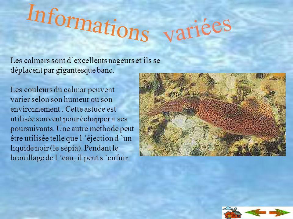 Le jeune calmar se nourrit particulièrement de plancton animal. Lorsquil est plus grand, il mange des petits poissons dont les sprats et les crustacés