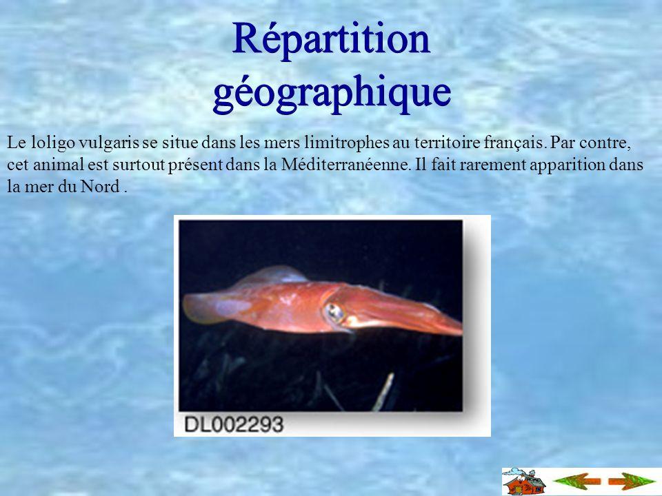 Ses comportements Le calmar commun fait partie des animaux pélagiques qui migrent selon les saisons. Ceux-ci sont capables de vivre sous une centaines