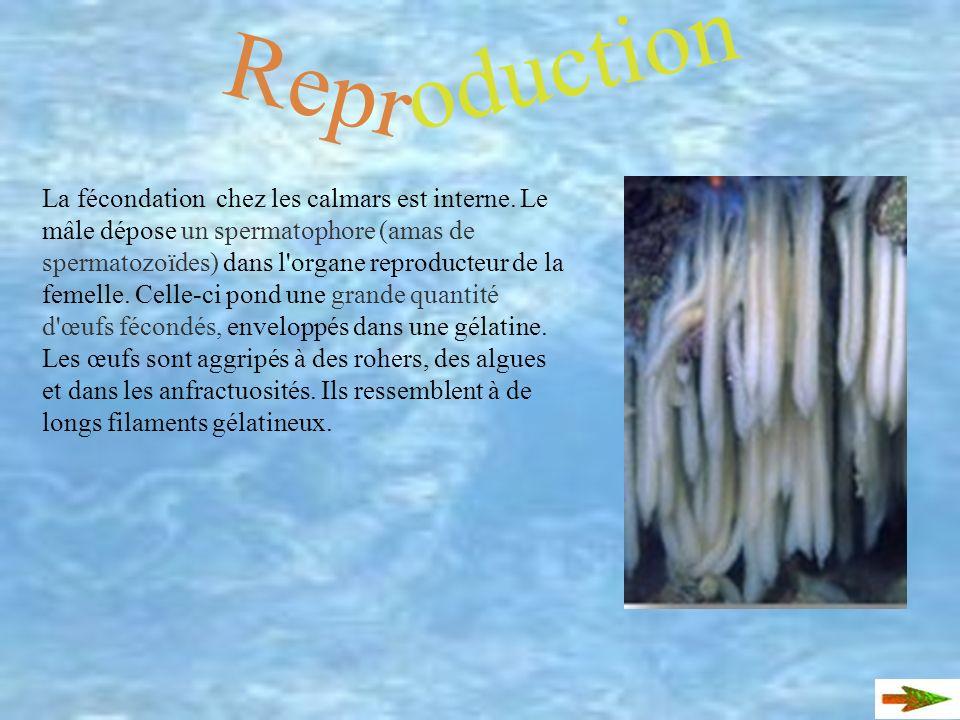 Repr oduction La fécondation chez les calmars est interne.