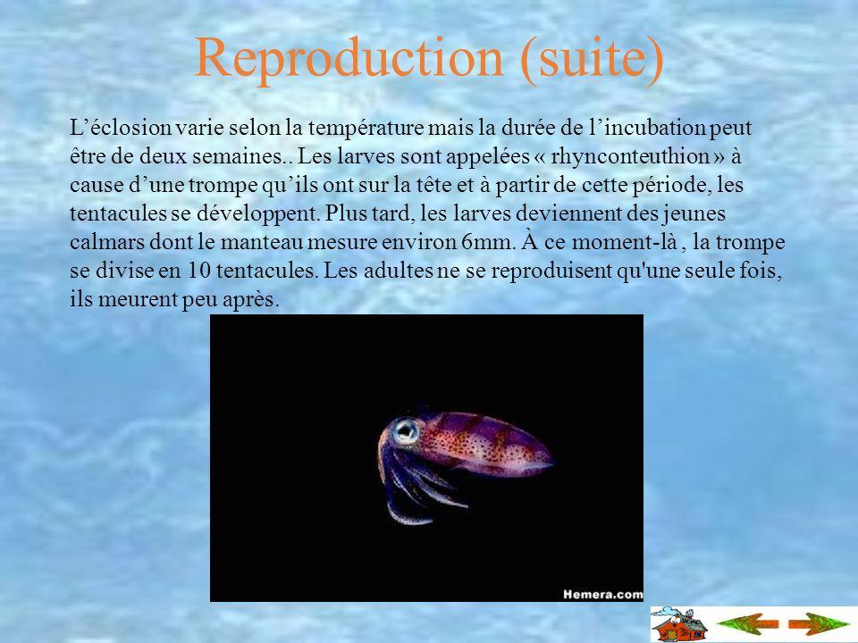 Repr oduction La fécondation chez les calmars est interne. Le mâle dépose un spermatophore (amas de spermatozoïdes) dans l'organe reproducteur de la f