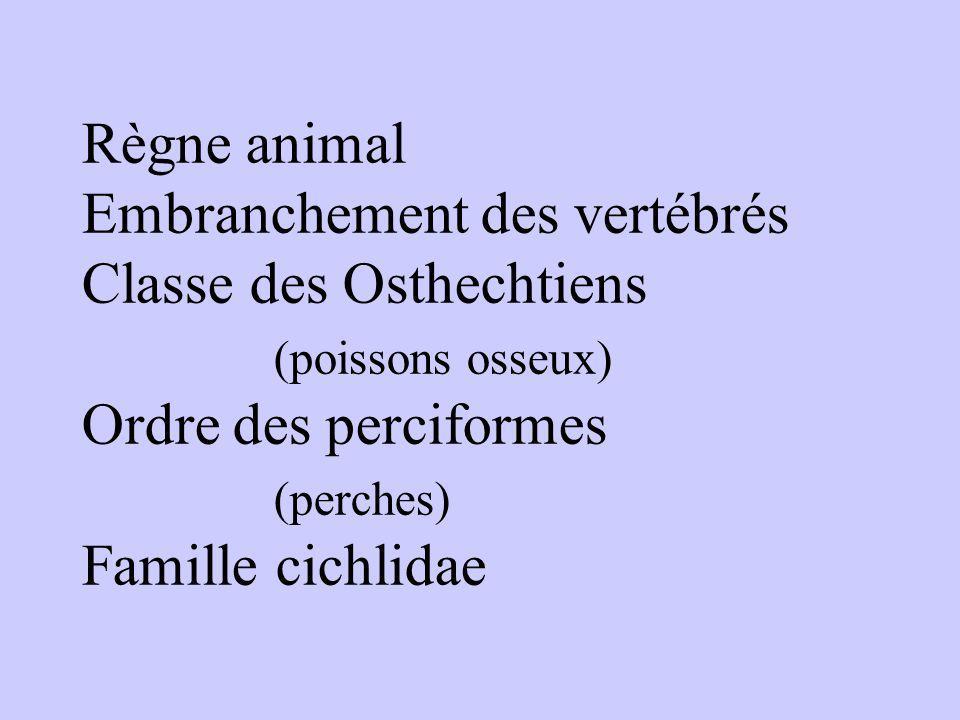 Règne animal Embranchement des vertébrés Classe des Osthechtiens (poissons osseux) Ordre des perciformes (perches) Famille cichlidae