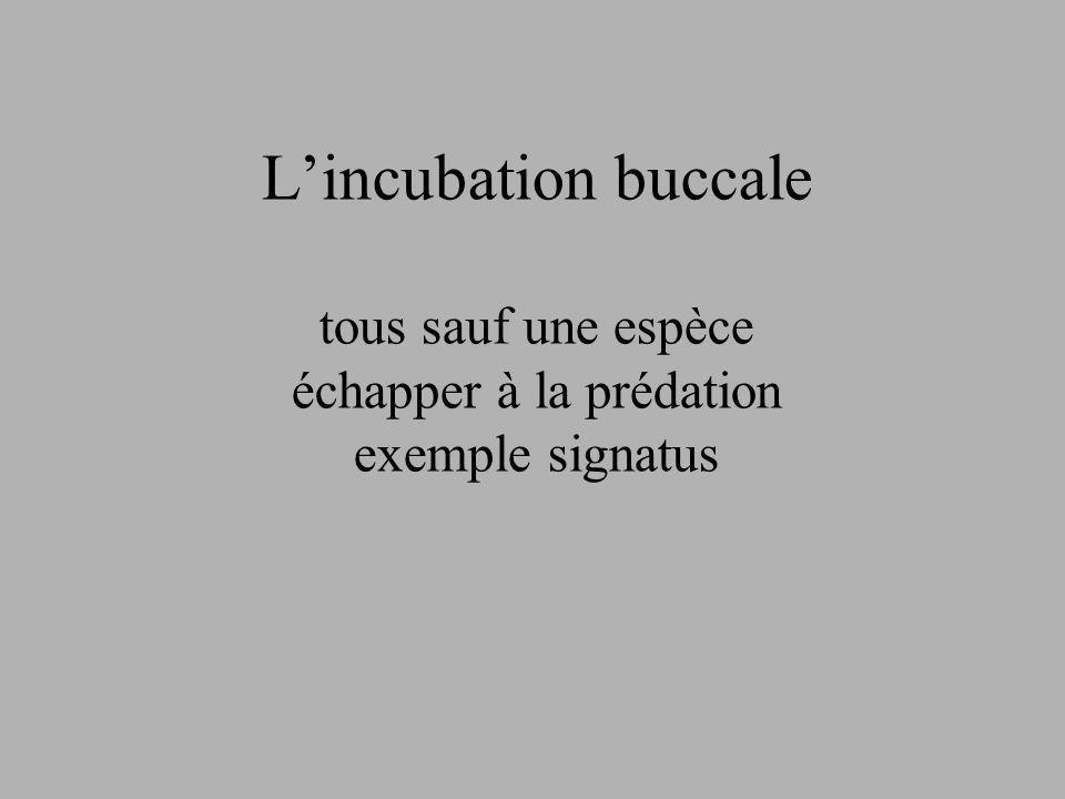 Lincubation buccale tous sauf une espèce échapper à la prédation exemple signatus