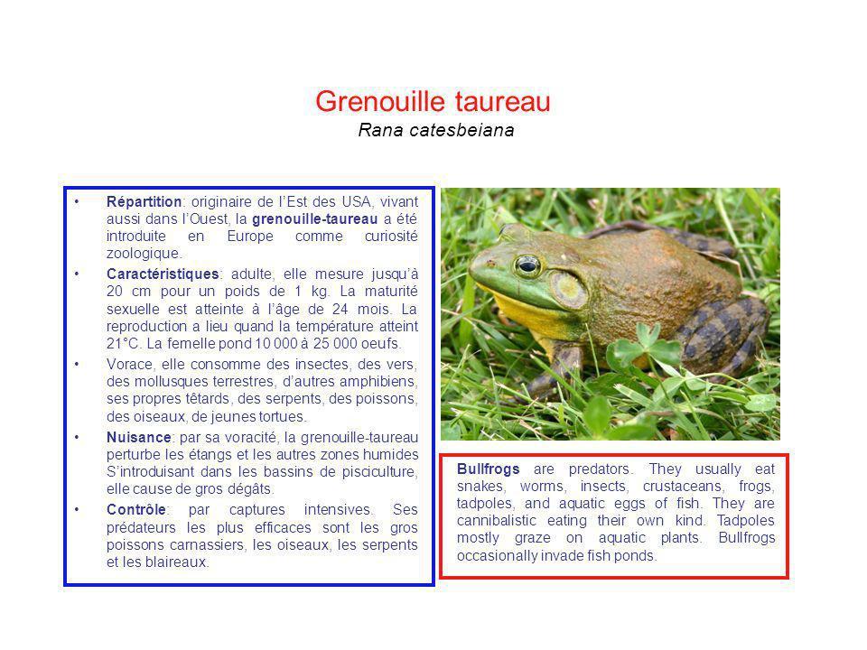 Grenouille taureau Rana catesbeiana Répartition: originaire de lEst des USA, vivant aussi dans lOuest, la grenouille-taureau a été introduite en Europ