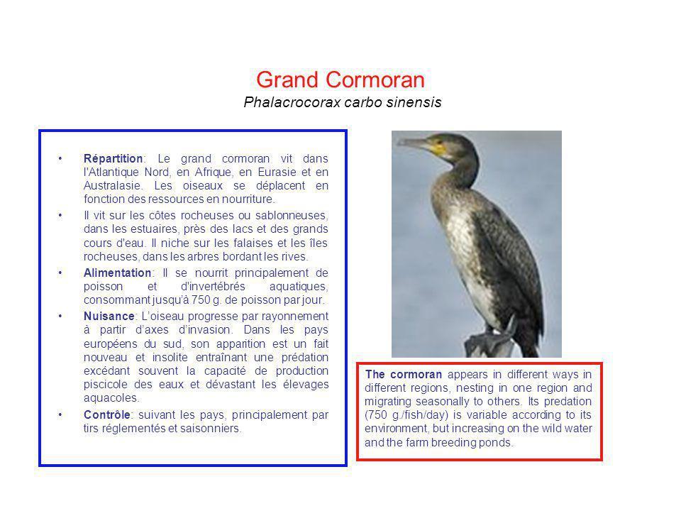 Grand Cormoran Phalacrocorax carbo sinensis Répartition: Le grand cormoran vit dans l'Atlantique Nord, en Afrique, en Eurasie et en Australasie. Les o