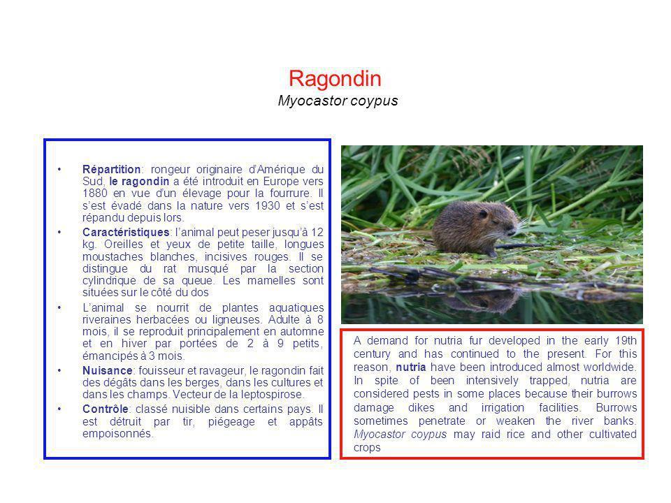 Ragondin Myocastor coypus Répartition: rongeur originaire dAmérique du Sud, le ragondin a été introduit en Europe vers 1880 en vue dun élevage pour la