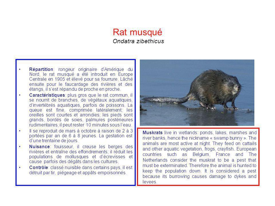 Rat musqué Ondatra zibethicus Répartition: rongeur originaire dAmérique du Nord, le rat musqué a été introduit en Europe Centrale en 1905 et élevé pou