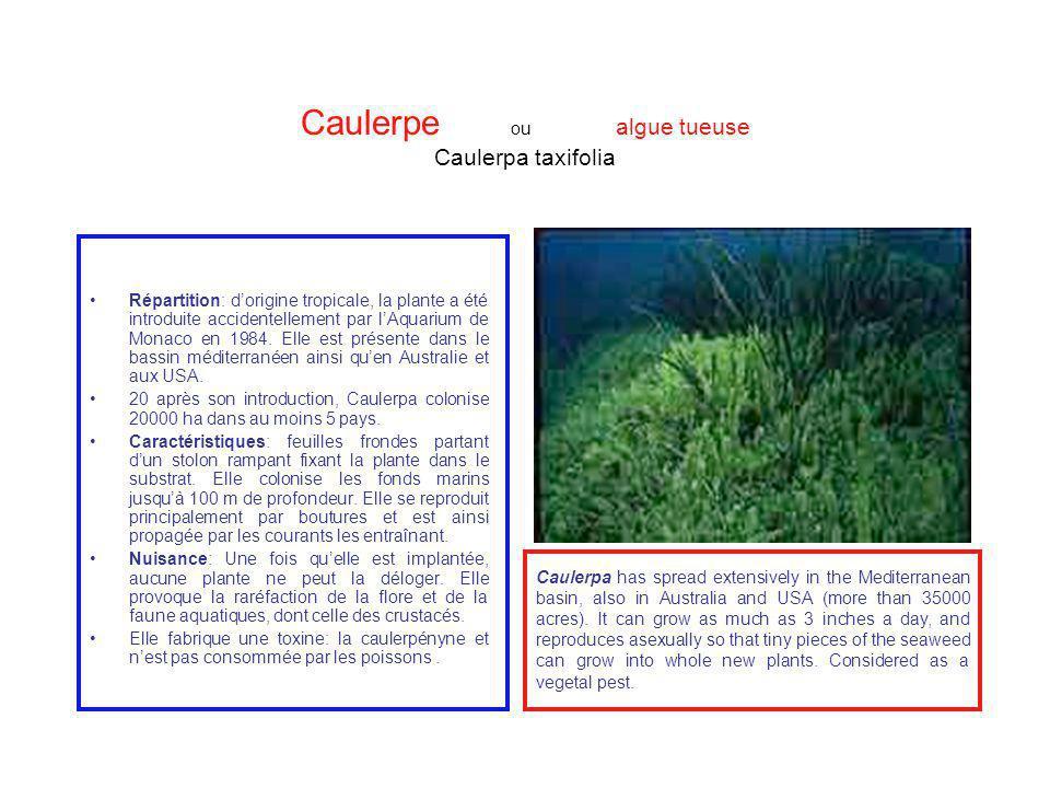Caulerpe ou algue tueuse Caulerpa taxifolia Répartition: dorigine tropicale, la plante a été introduite accidentellement par lAquarium de Monaco en 19