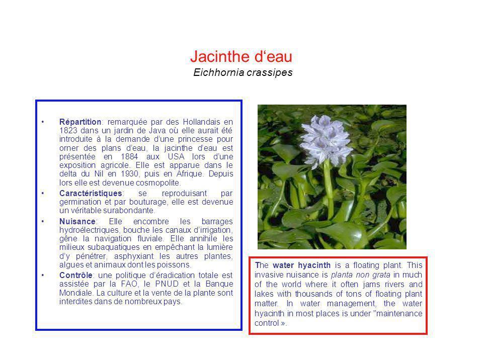 Jacinthe deau Eichhornia crassipes Répartition: remarquée par des Hollandais en 1823 dans un jardin de Java où elle aurait été introduite à la demande