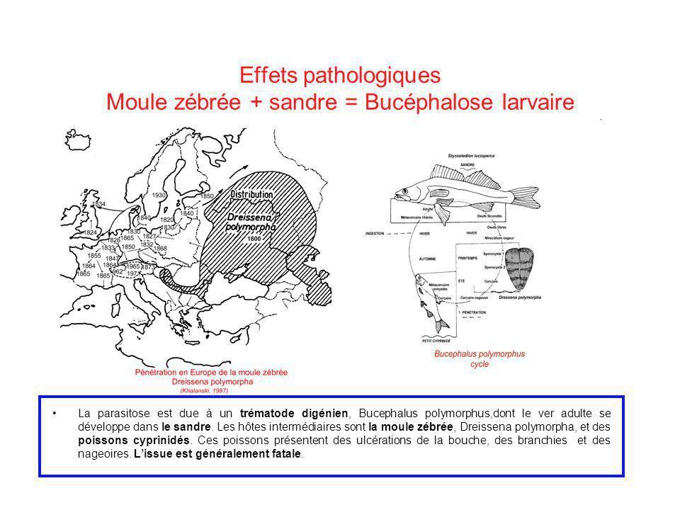 Effets pathologiques Moule zébrée + sandre = Bucéphalose larvaire La parasitose est due à un trématode digénien, Bucephalus polymorphus,dont le ver ad
