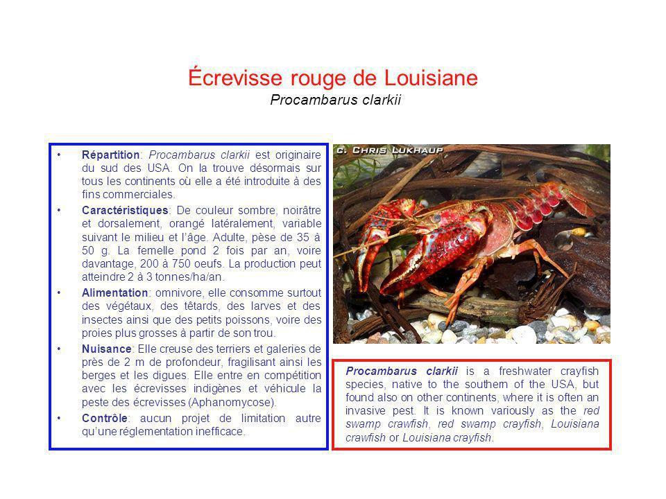 Écrevisse rouge de Louisiane Procambarus clarkii Répartition: Procambarus clarkii est originaire du sud des USA. On la trouve désormais sur tous les c