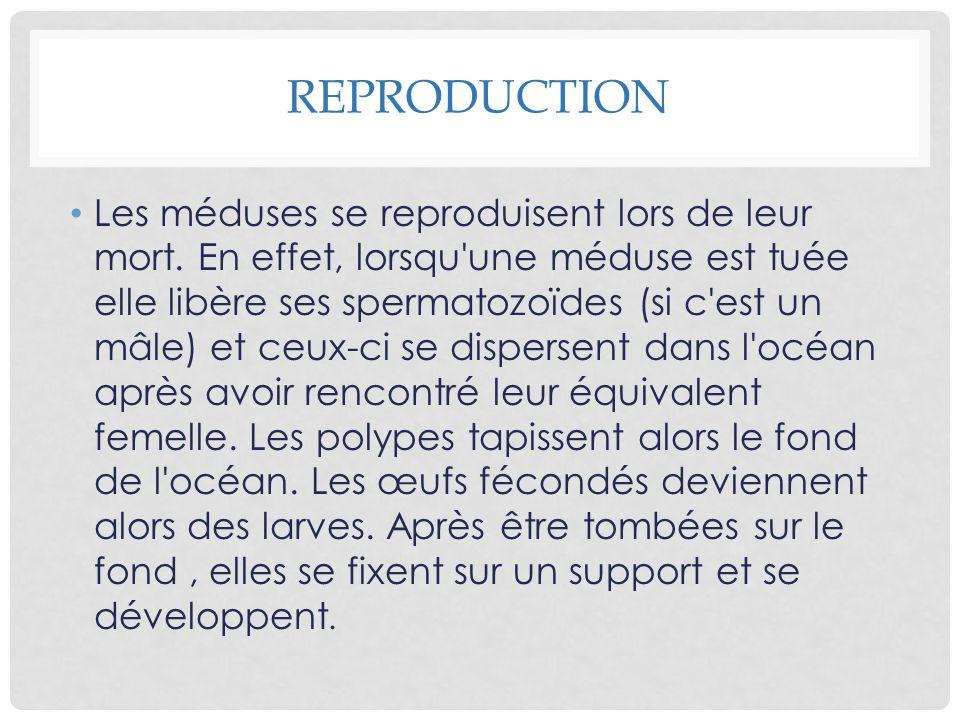REPRODUCTION Les méduses se reproduisent lors de leur mort. En effet, lorsqu'une méduse est tuée elle libère ses spermatozoïdes (si c'est un mâle) et