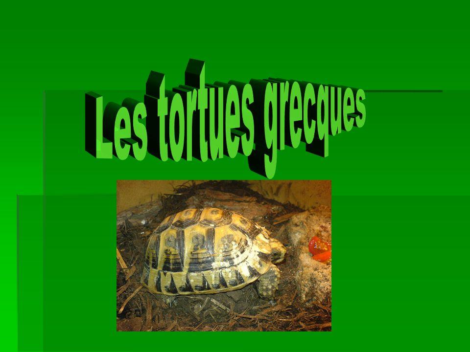 Description physique La tortue grecque mesure entre 20 et 25 cm.
