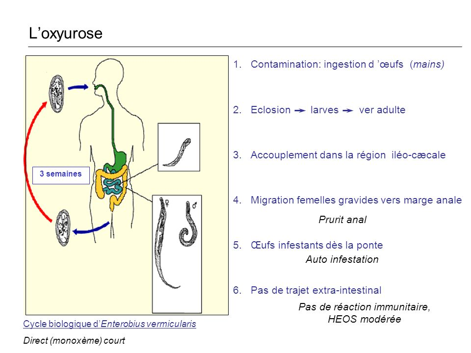 1.Contamination: ingestion d œufs (mains) 2.Eclosion larves ver adulte 3.Accouplement dans la région iléo-cæcale 4.Migration femelles gravides vers ma