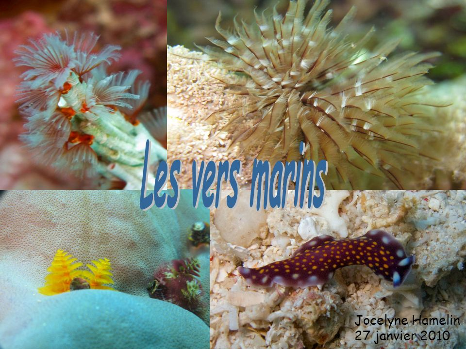 Arenicola marina est un polychète sédentaire, psammivore et vivant dans le sable, dans un tube en « U ».