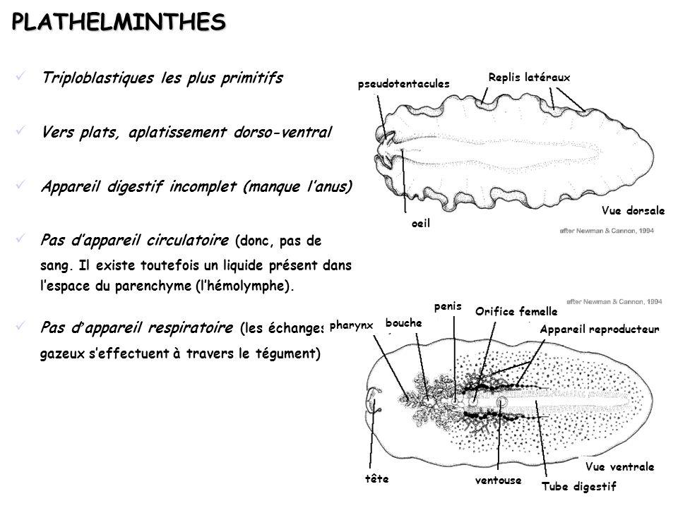 PLATHELMINTHES Triploblastiques les plus primitifs Vers plats, aplatissement dorso-ventral Appareil digestif incomplet (manque lanus) Pas dappareil ci