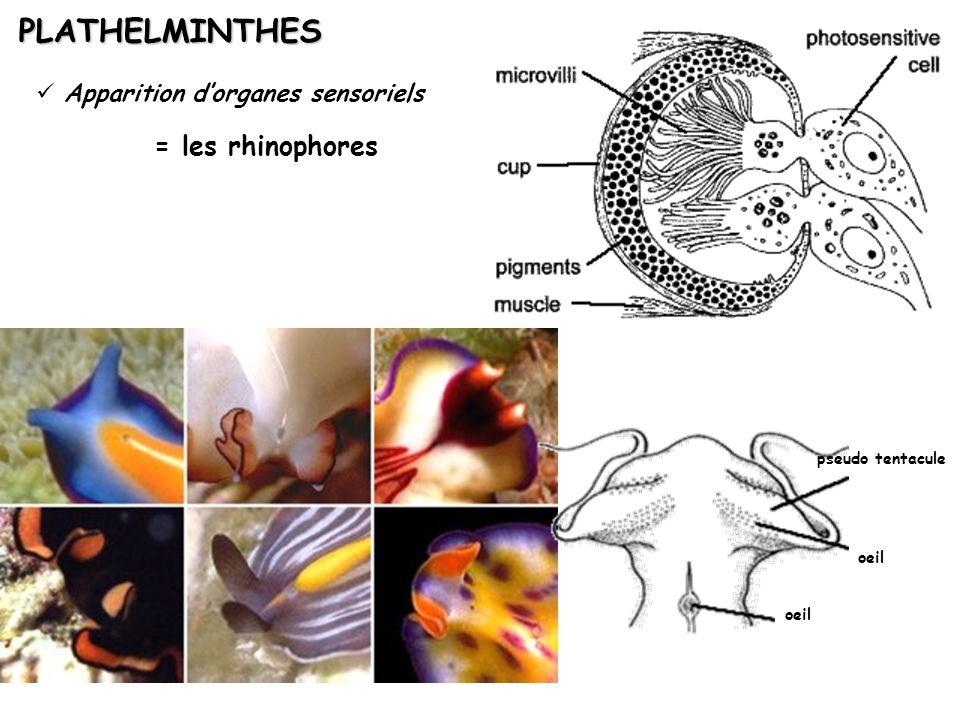 oeil pseudo tentacule Apparition dorganes sensoriels PLATHELMINTHES = les rhinophores
