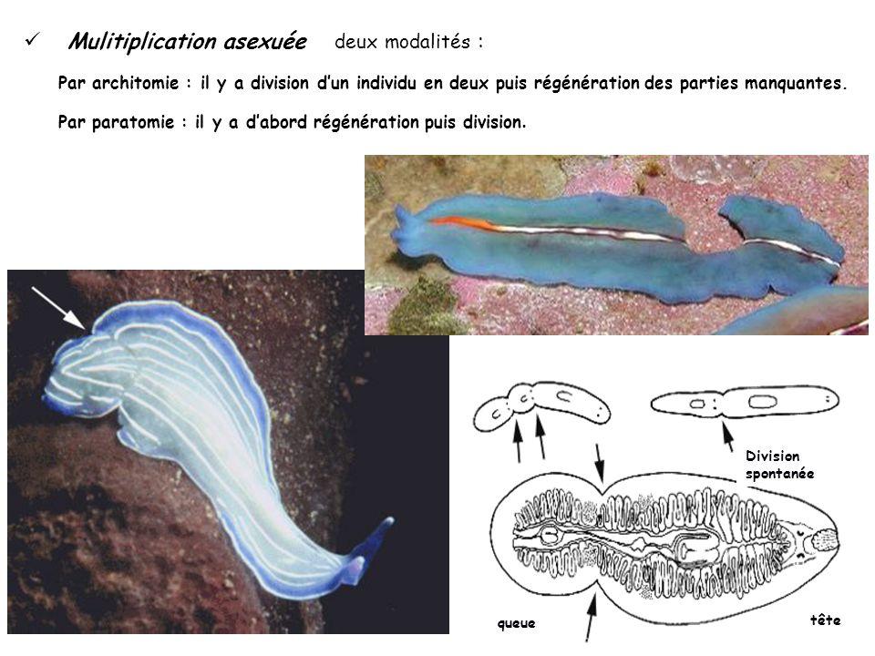 Division spontanée tête queue Mulitiplication asexuée deux modalités : Par architomie : il y a division dun individu en deux puis régénération des par