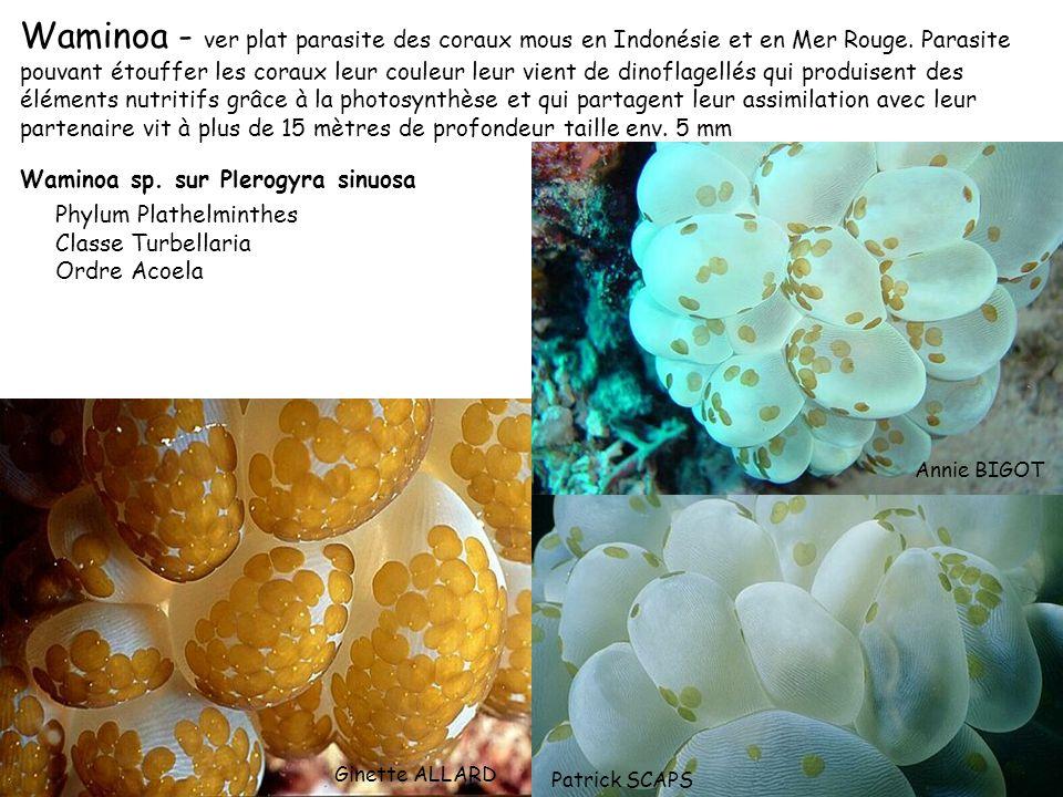 Waminoa - ver plat parasite des coraux mous en Indonésie et en Mer Rouge. Parasite pouvant étouffer les coraux leur couleur leur vient de dinoflagellé