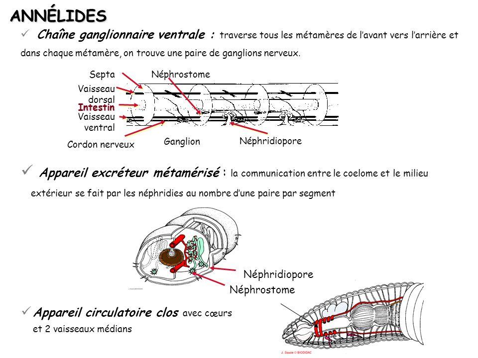 Chaîne ganglionnaire ventrale : traverse tous les métamères de lavant vers larrière et dans chaque métamère, on trouve une paire de ganglions nerveux.