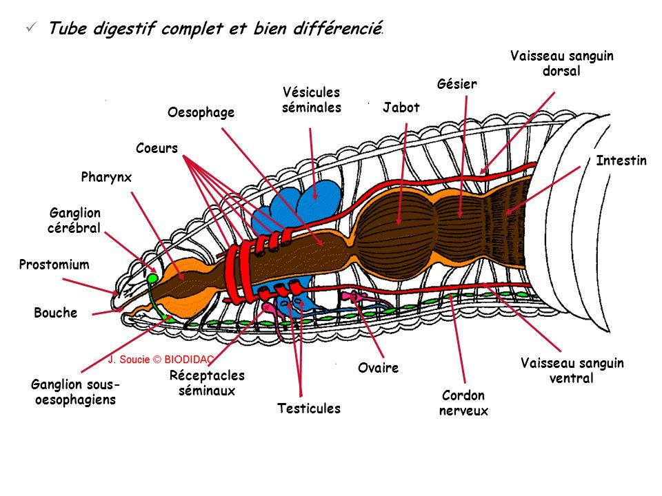 Ovaire Vaisseau sanguin dorsal Vésicules séminales Jabot Gésier Intestin Oesophage Coeurs Pharynx Ganglion sous- oesophagiens Réceptacles séminaux Tes