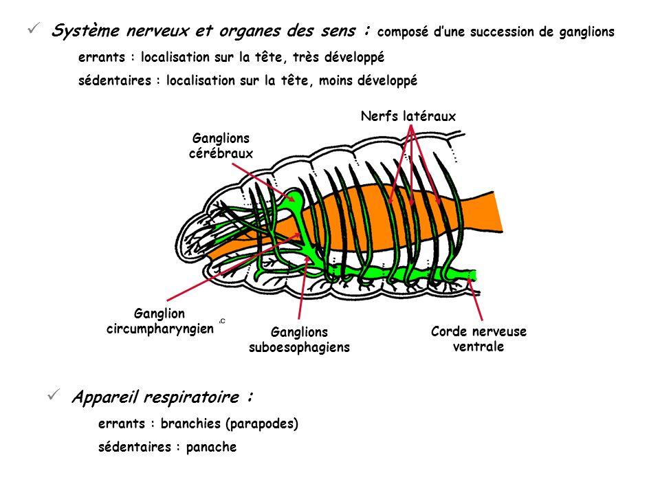 Système nerveux et organes des sens : composé dune succession de ganglions errants : localisation sur la tête, très développé sédentaires : localisati