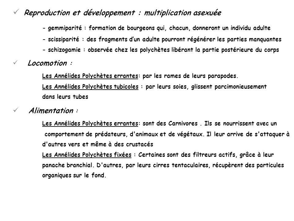 Reproduction et développement : multiplication asexuée - gemmiparité : formation de bourgeons qui, chacun, donneront un individu adulte - scissiparité