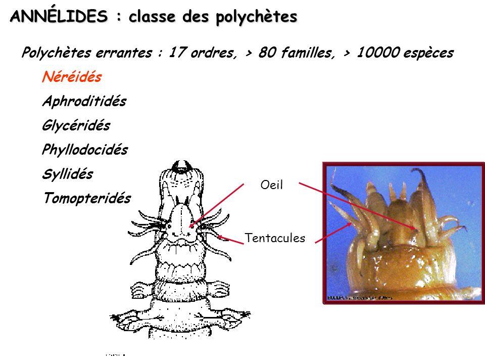 ANNÉLIDES : classe des polychètes Polychètes errantes : 17 ordres, > 80 familles, > 10000 espèces Néréidés Aphroditidés Glycéridés Phyllodocidés Sylli
