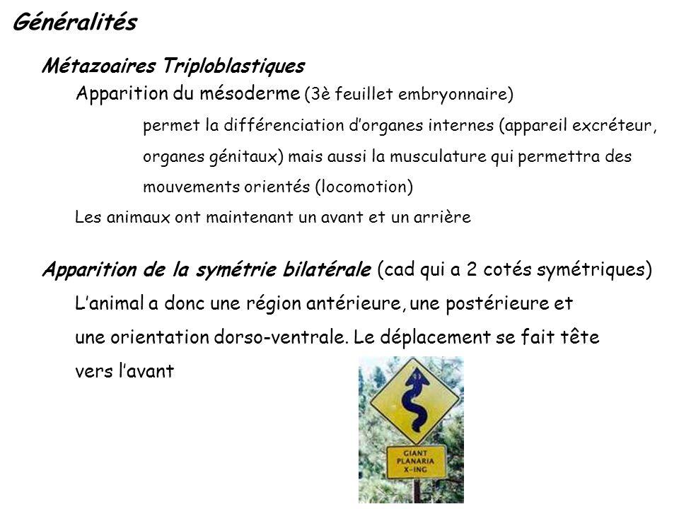 Métazoaires Triploblastiques Apparition du mésoderme (3è feuillet embryonnaire) permet la différenciation dorganes internes (appareil excréteur, organ