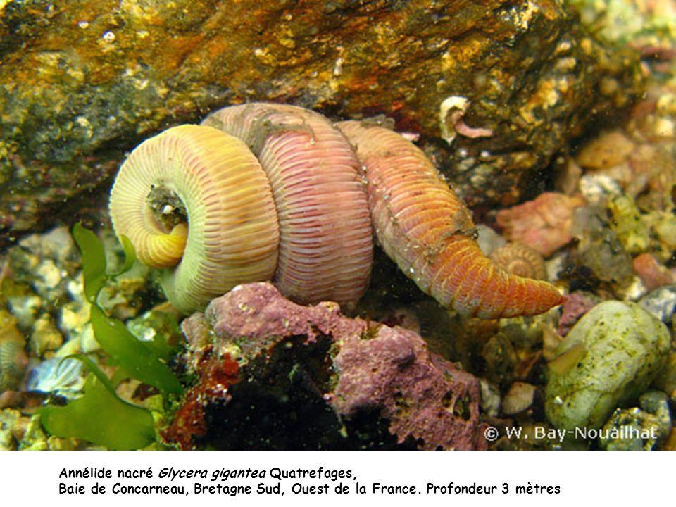 Annélide nacré Glycera gigantea Quatrefages, Baie de Concarneau, Bretagne Sud, Ouest de la France. Profondeur 3 mètres