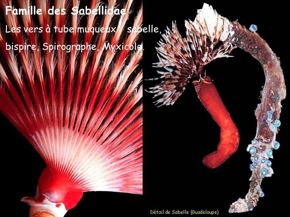 Famille des Sabellidae Les vers à tube muqueux : sabelle, bispire, Spirographe, Myxicole.