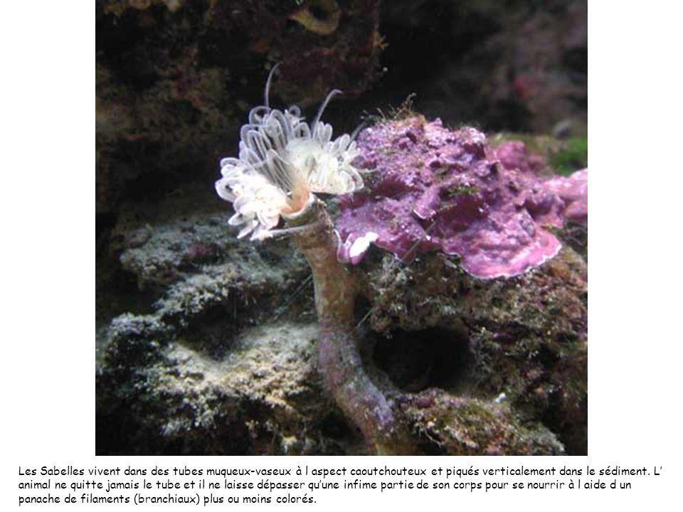 Les Sabelles vivent dans des tubes muqueux-vaseux à l aspect caoutchouteux et piqués verticalement dans le sédiment. L animal ne quitte jamais le tube