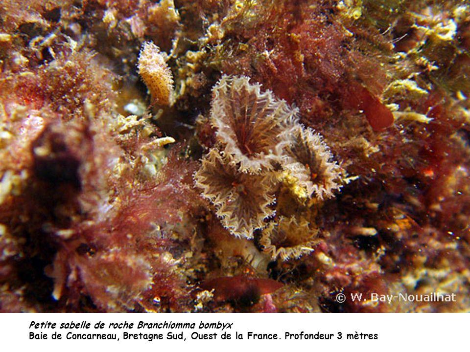 Petite sabelle de roche Branchiomma bombyx Baie de Concarneau, Bretagne Sud, Ouest de la France. Profondeur 3 mètres