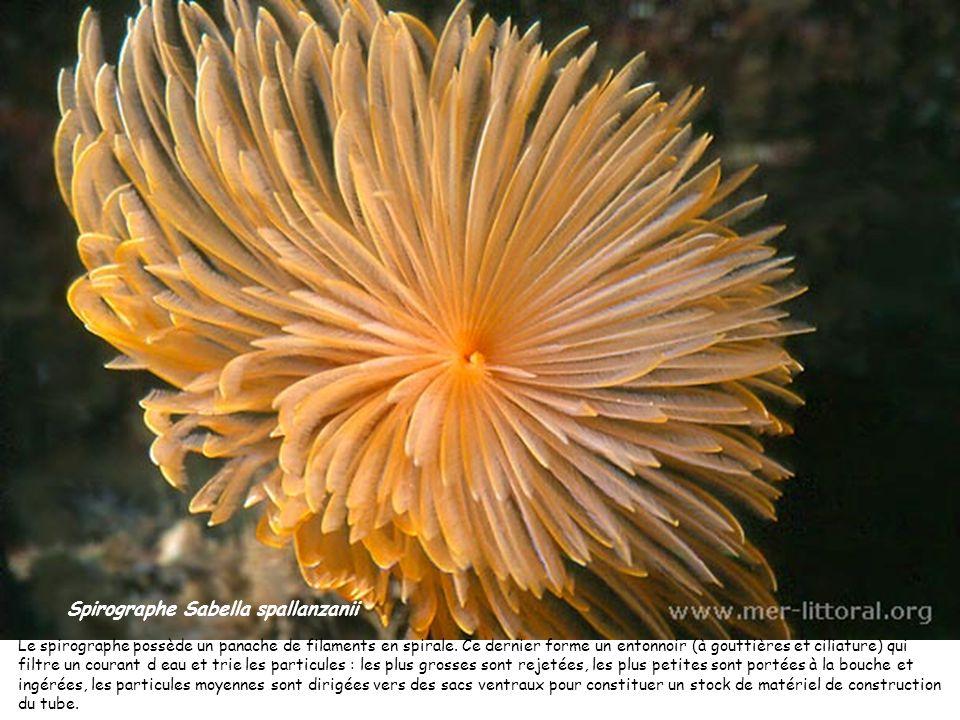 Spirographe Sabella spallanzanii Le spirographe possède un panache de filaments en spirale. Ce dernier forme un entonnoir (à gouttières et ciliature)