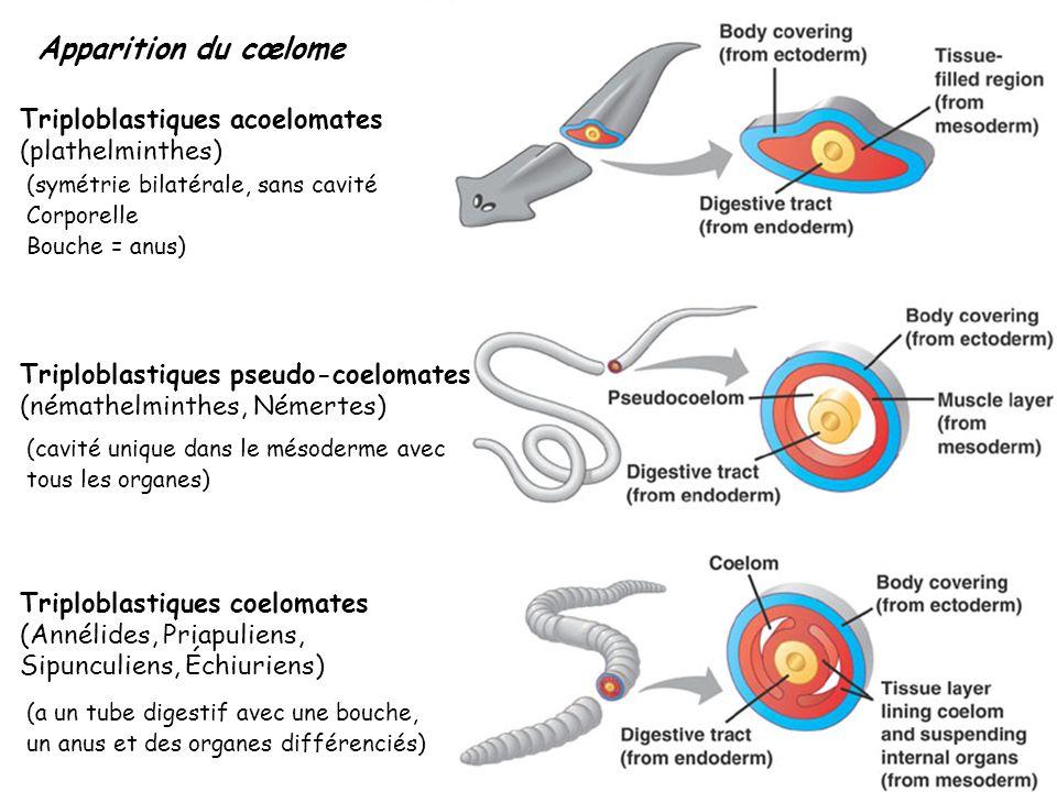 Serpule Salmacine Famille des Serpulidae : Les vers à tube calcaire : protules, serpules, Salmacine, spirorbes...