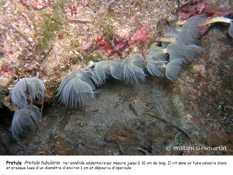 Protule Protula tubularia. Ver annélide sédentaire qui mesure jusqu'à 10 cm de long. Il vit dans un tube calcaire blanc et presque lisse d'un diamètre