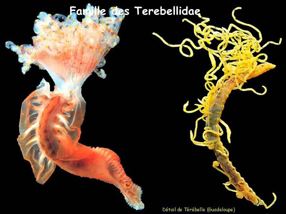 Famille des Terebellidae