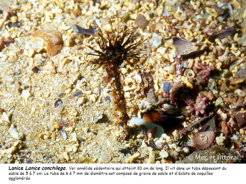 Lanice Lanice conchilega. Ver annélide sédentaire qui atteint 30 cm de long. Il vit dans un tube dépassant du sable de 5 à 7 cm. Le tube de 6 à 7 mm d