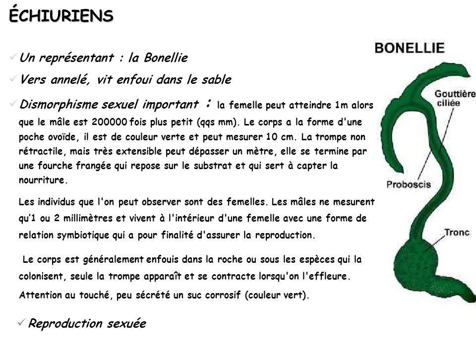 ÉCHIURIENS Un représentant : la Bonellie Vers annelé, vit enfoui dans le sable Dismorphisme sexuel important : la femelle peut atteindre 1m alors que