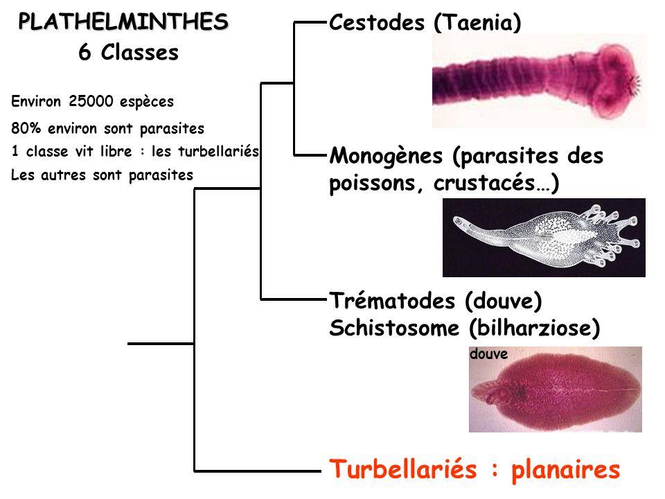 PLATHELMINTHES 6 Classes Cestodes (Taenia) Turbellariés : planaires Trématodes (douve) Schistosome (bilharziose) Monogènes (parasites des poissons, cr